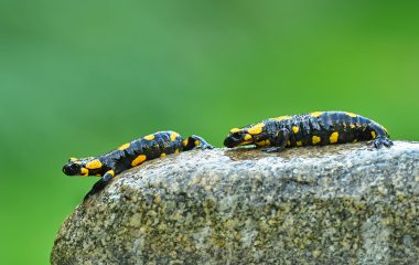 Salamandra plamista - Salamandra salamandra